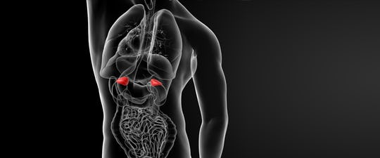 The adrenal glands are perhaps one of the most important regulatory glands in our bodies.