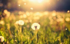 Ingredient Spotlight: Dandelion (Taraxacum officinale)