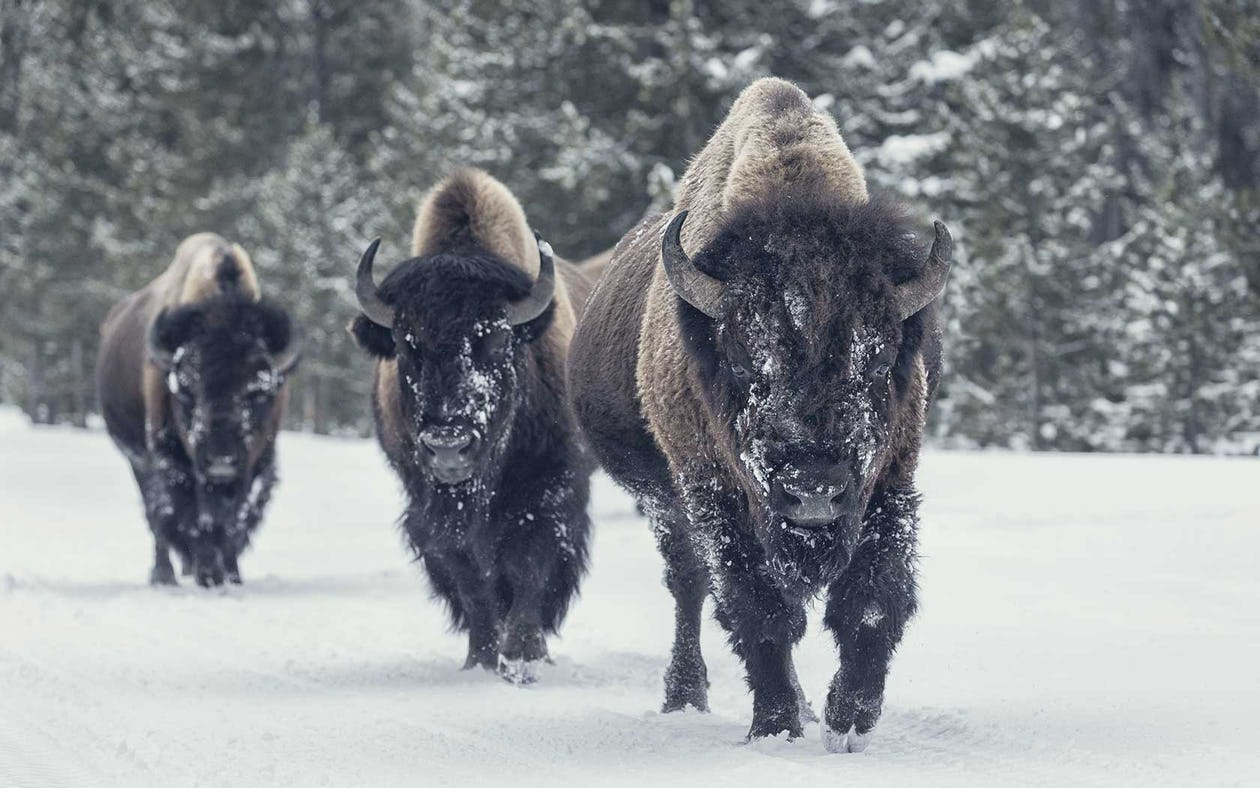 Bison vs  Beef: Which Red Meat is Better?