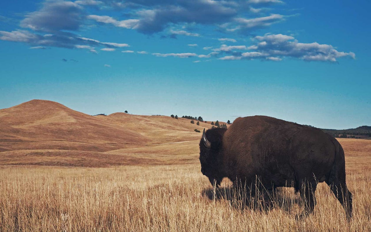 Bison vs. Beef: Which Red Meat is Better?