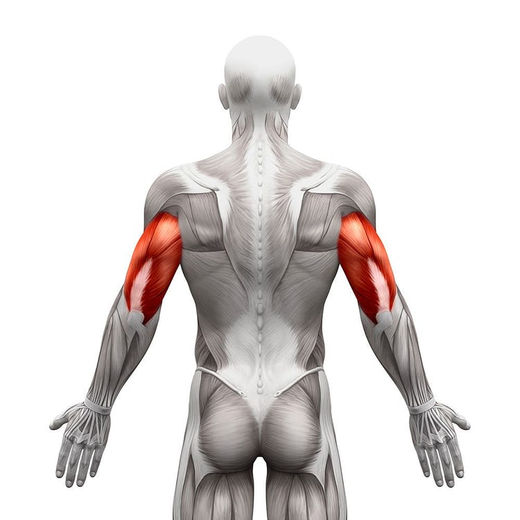 Best Chest and Triceps Workouts anatomy