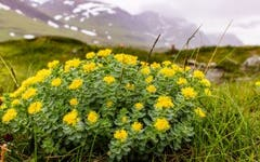 Benefits of Rhodiola Rosea: Is It Right For Me?